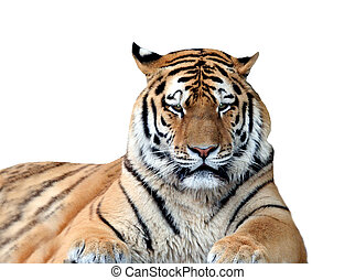 Tiger isolated on white - Portrait of tiger isolated on...