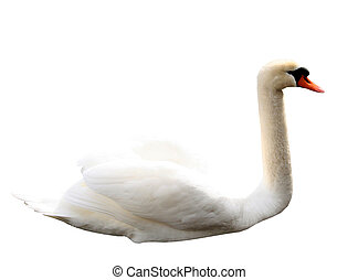 Isolated swan on white background - Beautiful white swan...