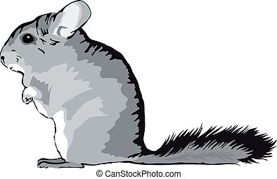 Chinchilla sitting on feets - cute Chinchilla chinchilla...