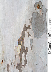 Peeling Bark Tree - A light colored tree has multiple shade...