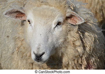 The Face of A Young Romney Ewe