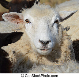 A Young Romney Ewe -  The Face of A Young Romney Ewe