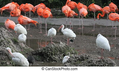 Birds and More Birds - American Flamingos and White Ibises...