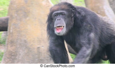 Chimpanzee Walking - An adult chimp walking and sitting...