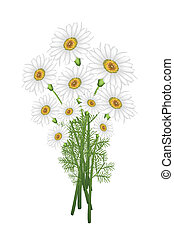 A Lovely Fresh Chamomile Bouquet in White Background - A...