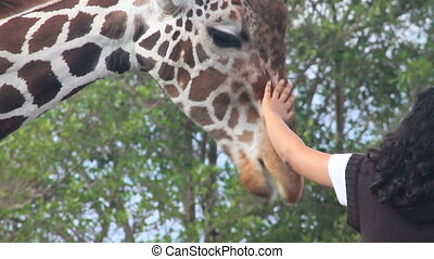 Feeding the Giraffes - Hands reaching out to feed and pet an...