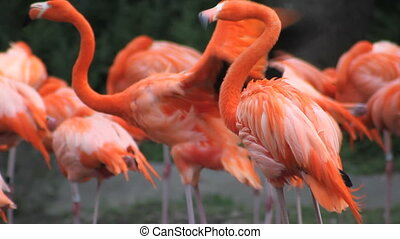 Flamingos 3 - A pink American Flamingo with its flock,...