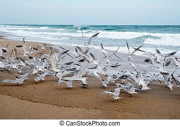 Royal Terns at Beach