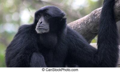 Siamang Gibbon Howling 2 - A Siamang Gibbon monkeyu2019s...