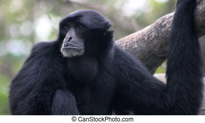 Siamang Gibbon Howling 2 - A Siamang Gibbon monkey%u2019s...