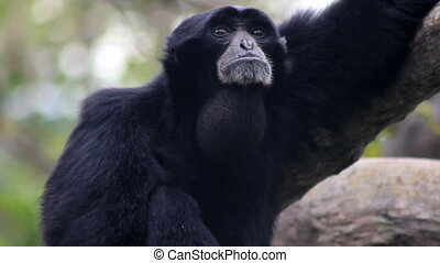 Siamang Gibbon Howling - A howler monkeyu2019s neck swells...
