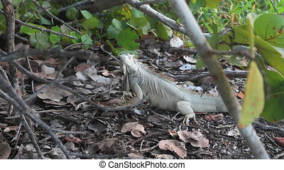 Iguana Head Dance - An iguana does a u201Chead danceu201D,...