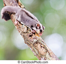 beautiful sugar glider