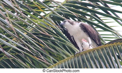 Osprey Eating Fish - An Osprey perched in a palm tree,...