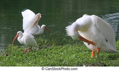 Pelican and Ibises 2 shots - Includes two shots An American...