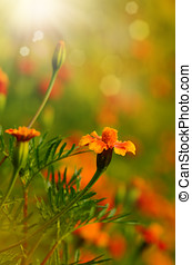 Tagetes flowers closeup against sunlight