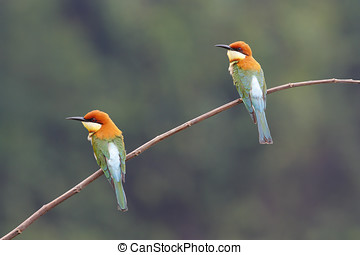 Chestnut-headed Bee-eater Merops leschenaulti