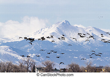 Geese migration - Canada geese migration at Barr Lake State...