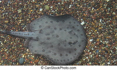 Sting Rays - Two sting rays swimming in clear shallow water