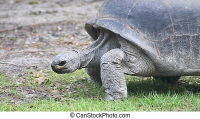 Tortoise Walking 1 - Panning with a large tortoise walking...