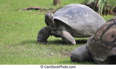 Tortoise Walking 2 - Panning with a large tortoise walking...