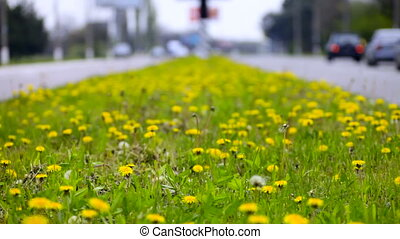Dandelions on highway - Dandelions on the dividing strip...