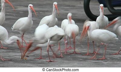 White Ibis Feeding Frenzy - A group of white ibises race to...