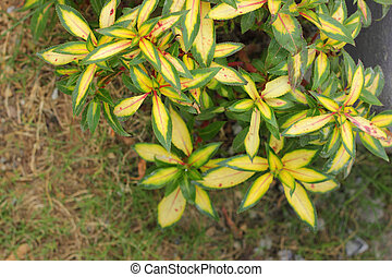 Green leaves with yellow margins