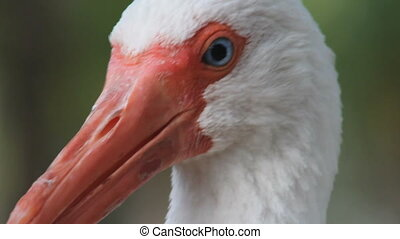 White Ibis (3 shots) - Three shots of a white ibis,...