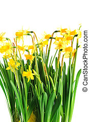 Yellow daffodils with  stems  and leaves in  bunch
