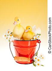 Twin easter ducklings in a bucket