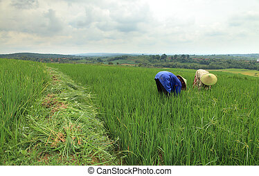 Working on rice field