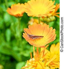Grasshopper on a flower calendula