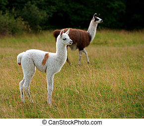 Baby llama - White baby llama animal with brown patches on...