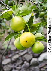 Nature's garden - orange fruits - Orange, a citrus fruit, a...