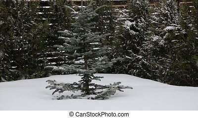 snow fall - Snowy Pine