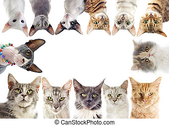 group of cats - group of purebred cats on a white background