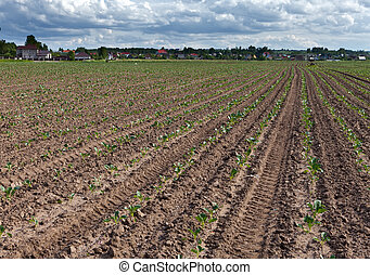 Equal rows of fresh shoots in the field