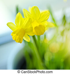 Spring Daffodils on a windowsill.