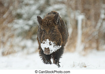 Wild boar in snow - Wild boar walking in snow, Bavaria