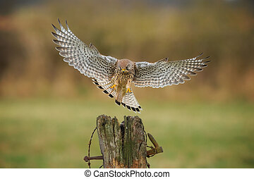 Female kestrel coming in to land - Female kestrel, falco...