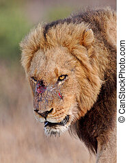 Battle scarred lion in Africa - Male lion in Kruger National...
