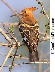 African hoopoe in Kruger National Park, South Africa