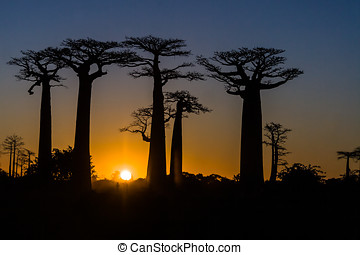 Sunset on baobab trees - Sunset on the Baobab Alley of...