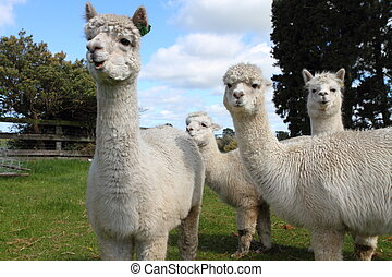 Alpaca - Curious white alpacas on the farm