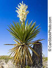 Giant Dagger Yucca plant  in Big Bend National Park, Texas