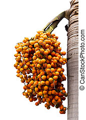 Orange ripe Betel nut palm fruit