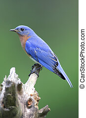 Male Eastern Bluebird (Sialia sialis) on a stump with a...