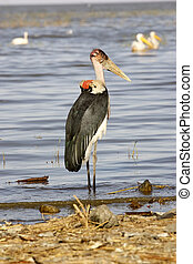 Marabou stork Leptoptilos crumeniferus Animal in the wild...