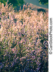 Heather in bloom - Pink Heater during the flowering period...